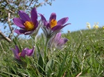 Opret Kobjlde (Pulsatilla vulgaris)